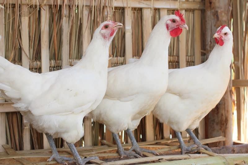 12 White Chicken Breeds