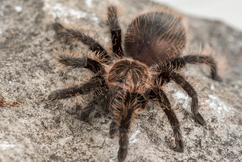 Honduran Curly Hair Tarantulas as Pets-Everything You Need to Know
