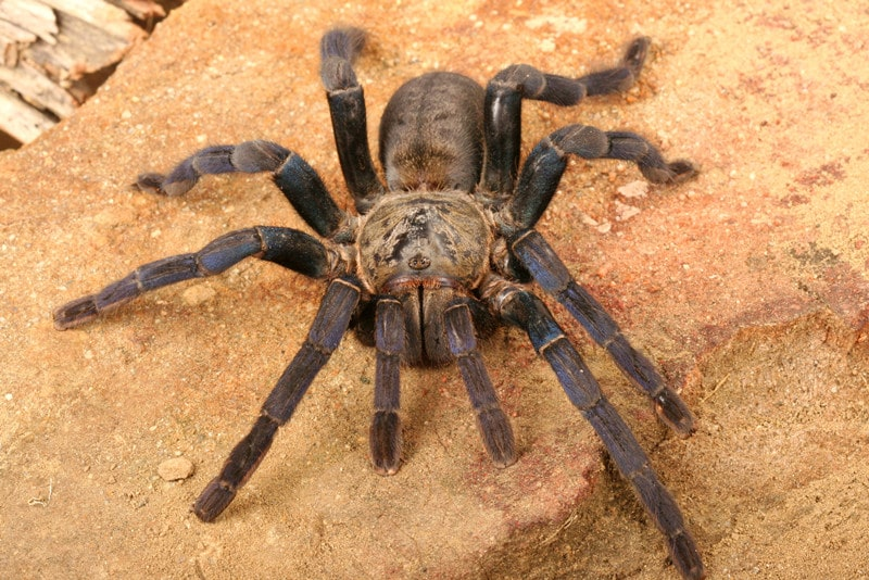 What You Need to Know About Cobalt Blue Tarantulas as Pets