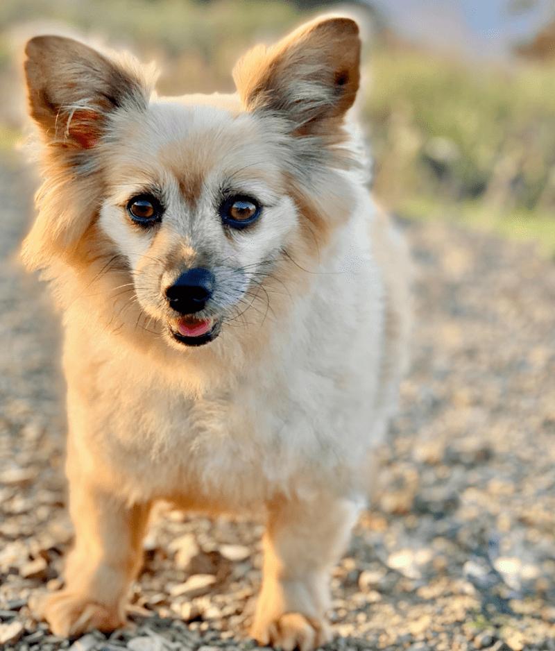 Corgi Pomeranian Mix-Everything You Need to Know