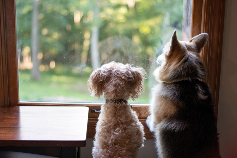 Corgi Poodle Mix-Everything You Need to Know