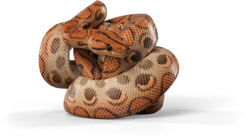 15 Cool Rainbow Boa Morphs With Pictures