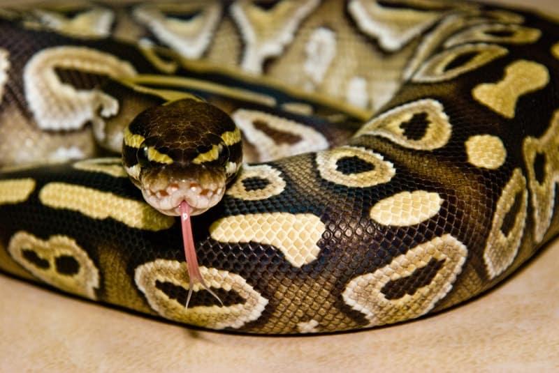 Mojave Ball Pythons-Everything You Need to Know