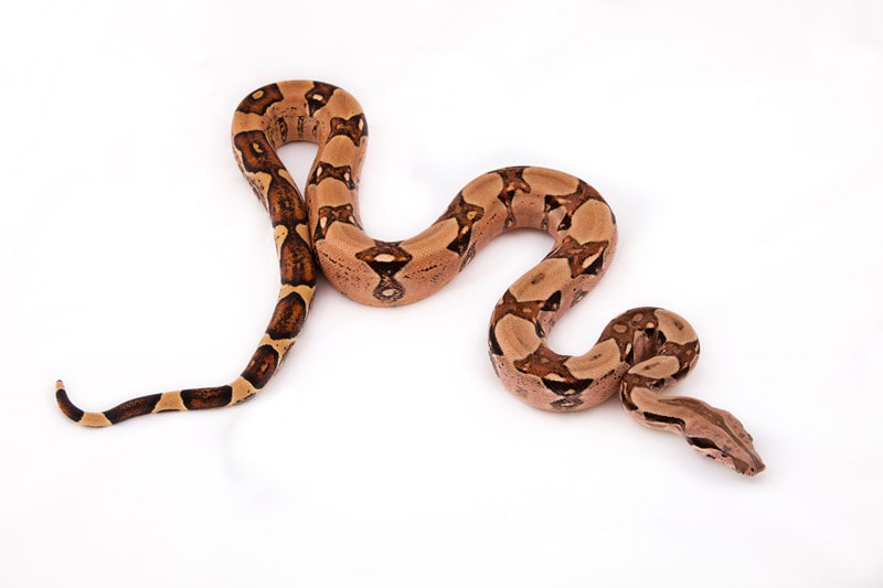 15 Cool Boa Constrictor Morphs With Pictures