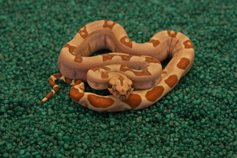 Jungle Boa Constrictor