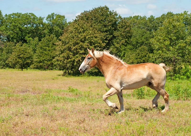 Are Belgian Horses Good for Riding