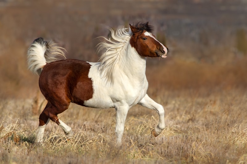 Is a Pinto Horse the Same as a Paint Horse
