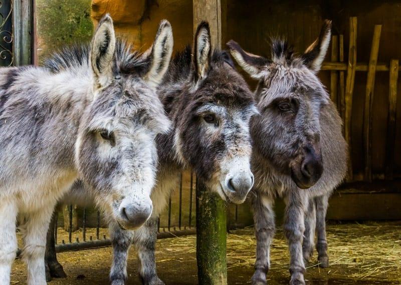 Miniature Donkeys as Pets